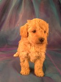 Bichon Poodle puppies for sale|Bichon Poo #4 Born 2-5-13|Purebredpups breeds Bichon Poodles for less than $700