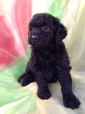 All Black Female Mini Goldendoodle Puppy for Sale DOB 9-7-15