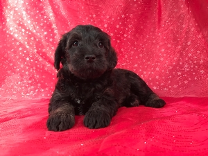 Black Female Schnoodles for Sale