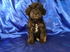 Black Miniature Schnoodle Pup for Sale Near the Iowa Minnesota Border
