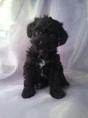 Female schnoodle Puppy for sale #15 Born 3-1-13|Black puppies for sale in Iowa|Breeders