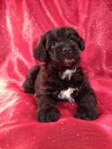 Male Miniature Schnoodle Puppy for sale #4 Born 3-29-13,Professional Schnoodle Breeders with Puppies for sale|Standard,Mini, and Giant
