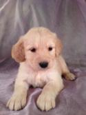 Female Goldendoodle Puppy for sale #12 Born April 10th, 2013|Goldendoodles Puppies by Professional Goldendoodle Breeders