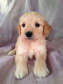 Female Goldendoodle Puppy for sale #13 Born April 10th, 2013|Goldendoodles Puppies by Professional Goldendoodle Breeders