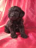 Male Black Schnoodle Pup#5 for sale|Ship for $150 into Massachusetts, Maryland, New Jersey, Florida, North Carolina, Pennsylvania, Rhode Island, Washington DC and Many More!