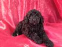 Female Schnoodle Puppy for sale #6 Born March 29th, 2013|Professional Dog breeder selling shipping for $150