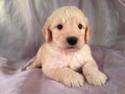 Male Goldendoodle Puppy for sale #14 Born April 10th, 2013|Goldendoodles Puppies by Professional Goldendoodle Breeders