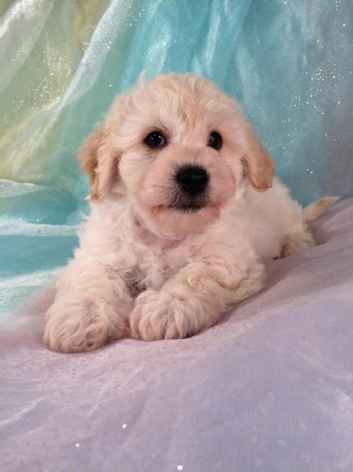 Male Cavachon Puppy for sale $875. DOB 9-10-16
