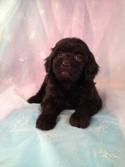 Blacker Than Black Female Bichon Poodle Puppy for sale in Iowa|Born April 5th 2013|Ready June 1st 2013|Iowa puppies, Iowa breeder, Purebredpups!