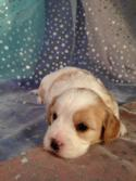 Male cavachon Puppy for sale in Iowa.  Orange and White Markings with the Best Baby Face.