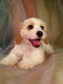Iowa's Top Cavachon Breeder has a Male Tan and White Puppy for Sale. DOB 6-29-14 Ready Now!