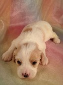 Cavachon Breeder August 2012|Puppies for sale