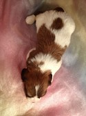 Male Cavachon Puppy for sale $575 | Iowa Breeder shipping available