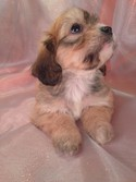 Female Dark Tan Cavachon Puppy for sale|Cavachon Breeder selling Cavachon Puppies for less tan Most Cavachon Breeders in Massachusetts