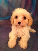 Female Lemmon and White Cavachon Puppy for sale #2|Cavachons for sale at lower prices than Most cavachon Breeders in RI