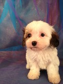 Female cavachon Puppy for sale #1 DOB 1-25-13|Cavachon Puppies for sale in Pennsylvania normally cost more