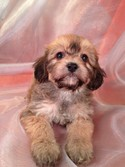 Male Dark tan cavachon puppy for sale #6|Most cavachon Puppies for sale by Maryland Cavachon Breeders will be more than Purebredpups