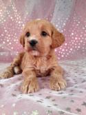 Female Cockapoo Puppy for sale #2 DOB 7/6/13  Cockapoo Breeders in Massachusetts and Maryland are welcome Buyers at Purebredpups!