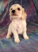 Male Cockapoo Puppy for sale #3 Born June 10th 2013|Airline tickets for only $150 when you buy at Purebredpups!