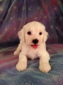 Male White Cockapoo Puppy for sale #5 Born June 10th 2013|Cockapoo Breeders with Cockapoos for sale