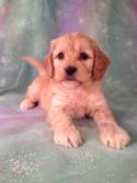 Male Cockapoo Puppy for sale #2 Born 9-14-13 Tail is all there! 1-641-588-3110 Call Purebredpups today!