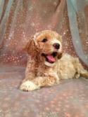 Male Cockapoo puppy for sale Near the Iowa Minnesota Border| This litter of Cockapoos DOB is June 14th 2014. Iowa's top Cockapoo Breeder-Purebredpups.com
