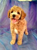 Red Female Cockapoo Puppy with White Markings for Sale in North Iowa $875
