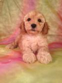 Male Cockapoo Puppy for sale #6 DOB June 14th 2014 Iowa Cockapoos for sale