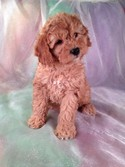 Red Female Cockapoo Ready 1/12/13. Cockapoo Puppy for Sale #23 |Cockapoo Breeders 2012