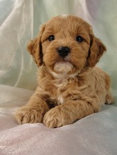 Male Cockapoo Puppy for Sale #18 Born July 5, 2011