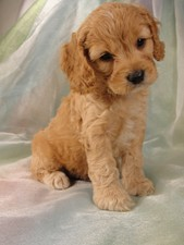 Male Cockapoo Puppy for Sale #17 Born July 5, 2011