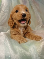 Female Cockapoo Puppy for Sale #16 Born July 5, 2011