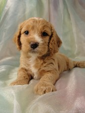 Female Cockapoo Puppy for Sale #15 Born July 5, 2011