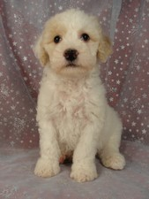 Male Cockapoo Puppy for Sale #25 Born August 10, 2011