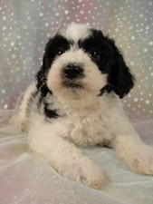 Male Cockapoo Puppy for Sale #21 Born August 10, 2011