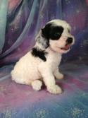 Male Cockapoo Puppy for sale #1 Born June 10th 2013|Short drive for buyers driving from Illinois,Wisconsin,Minnesota and Iowa.