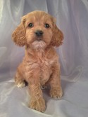 Female cockapoo Puppy for sale #20 DOB 2-16-13|Iowa cockapoo breeders with Cockapoos for sale