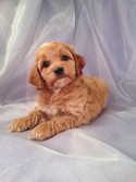 Male Cockapoo Puppy for sale #24 DOB February 26th, 2013|Iowa Cockapoo breeders with puppies ready in 2013