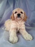 Male Cockapoo Puppy for sale #25 DOB February 26th, 2013|Blond or Buff male Cockapoo in Iowa!