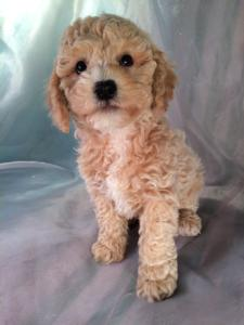 Male Cockapoo Puppy From Iowa Looking to Relocate DOB 11-23-15 Ready Now!