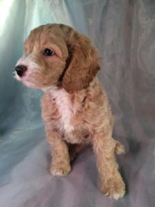 Male Cockapoo Puppy DOB 11-23-15 $875
