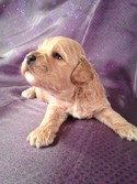 Buff Male Cockapoo puppy for sale #3|Purebredpups sells Cockapoo Puppies for less than Most Cockapoo Breeders in Pennsylvania