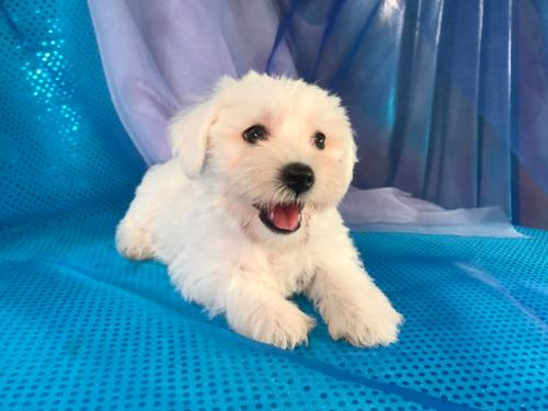 All White Female Mini Schnoodle Puppy for Sale DOB 6-4-17 $950