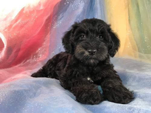 Black Female Miniature Schnoodle Pup For Sale DOB 6-4-17 $950.
