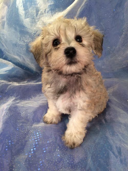 Female Schnoodle Puppy for Sale- Iowa breeders located near the Iowa Minnesota border.