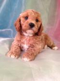 Iowa's Best Breeder Purebredpups.com would like to annouce the most recent litter of red cockapoo Puppies born 7-12-14. Buying from the best cockapoo breeder in Iowa will only cost $675.