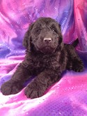 Giant Schnoodle Puppy for sale #1 Male|Giant Schnoodle Breeders in Florida Generally Charge More for their Giant Schnoodles|Puppies for sale