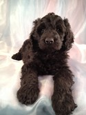 Female Giant Schnoodle puppy for sale #2 is Priced less than Most Giant Schnoodle puppies for sale in North Carolina|Giant Schnoodle Breeder