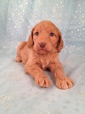 Kramar Female Goldendoodle Puppy for sale #15 Ready January 2013|Goldendoodle Breeders selling Goldendoodles for Less than Most Pennsylvania Goldendoodle Breeders do|2013