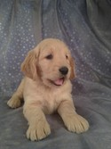 Goldendoodle Male for sale|Puppy for sale #8|DOB 2-16-13|Iowa dog breeders with Goldendoodle Puppies for sale